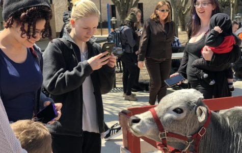 Students photograph the mini-cow during the Campus Activities Board's Earth Day event.
